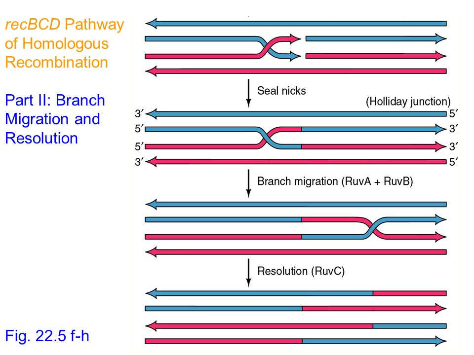 recBCD Pathway of Homologous Recombination