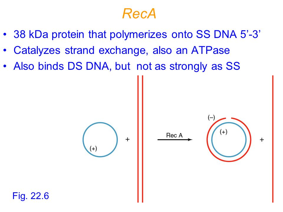 RecA 38 kDa protein that polymerizes onto SS DNA 5'-3'