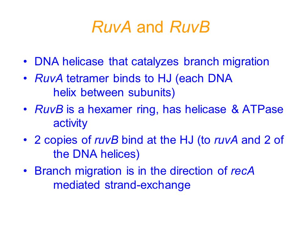 RuvA and RuvB DNA helicase that catalyzes branch migration