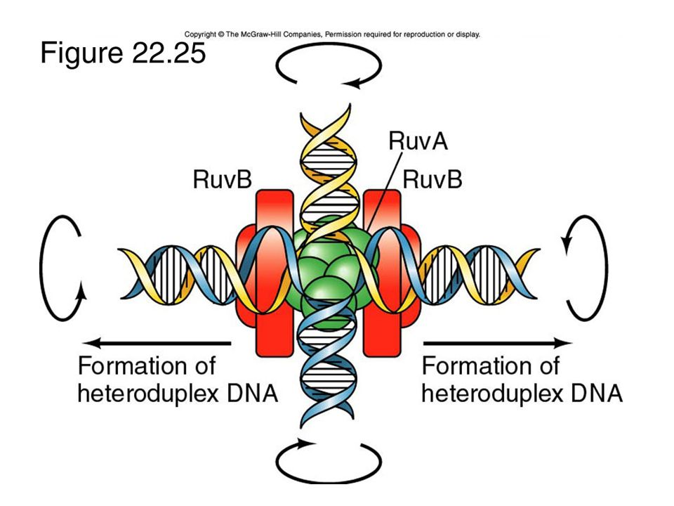 The RuvA protein binds and forces the holiday junction into a flat planar structure.