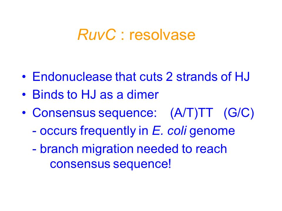 RuvC : resolvase Endonuclease that cuts 2 strands of HJ