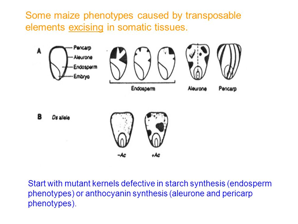Some maize phenotypes caused by transposable elements excising in somatic tissues.