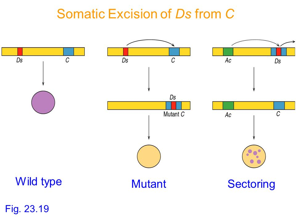 Somatic Excision of Ds from C