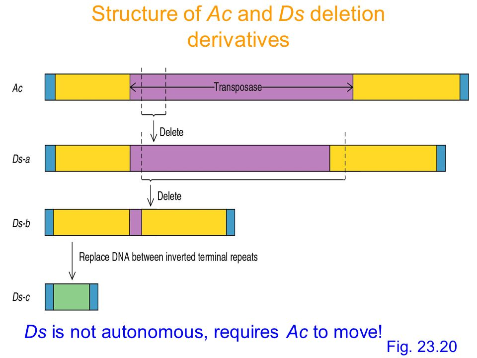 Structure of Ac and Ds deletion derivatives