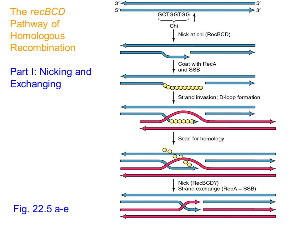 The recBCD Pathway of Homologous Recombination