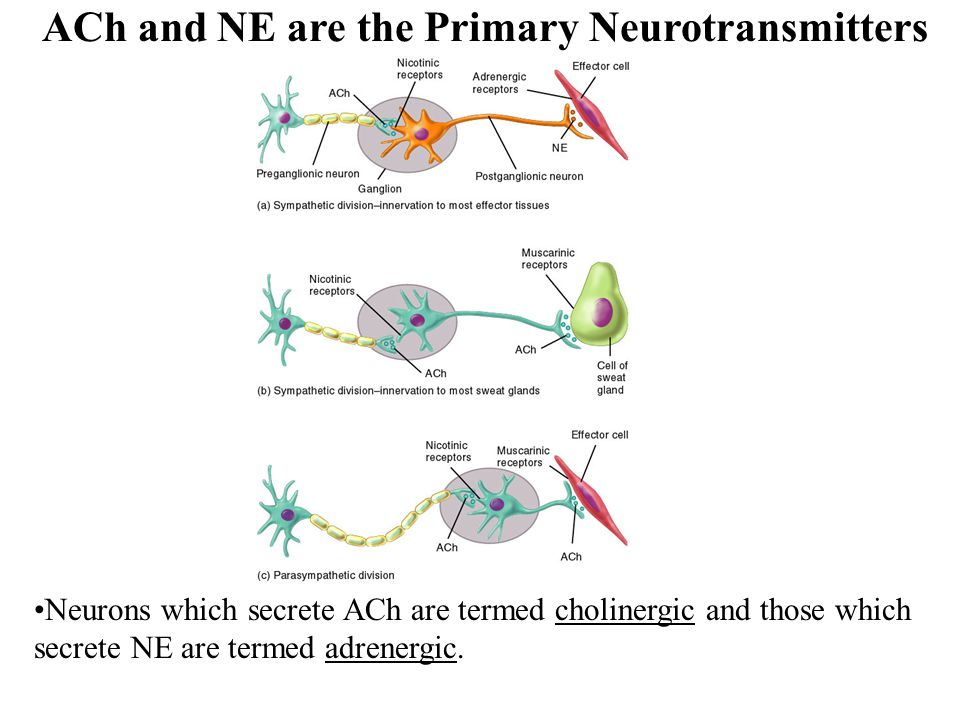 ACh and NE are the Primary Neurotransmitters