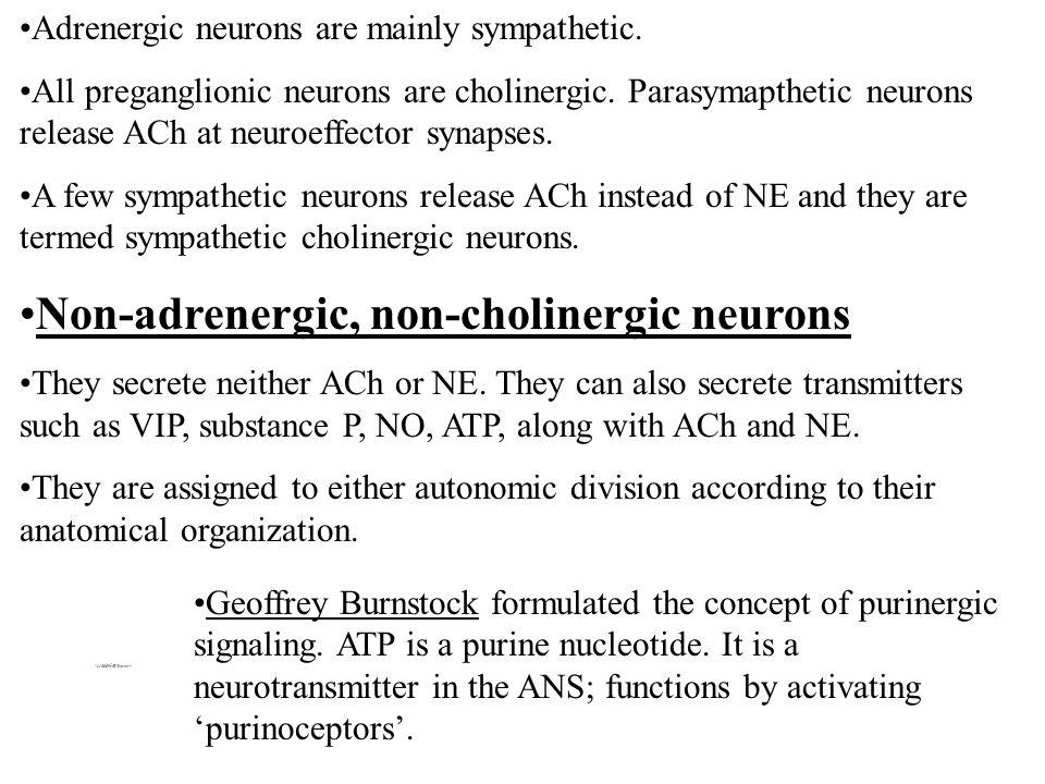Non-adrenergic, non-cholinergic neurons