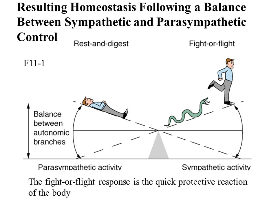Resulting Homeostasis Following a Balance Between Sympathetic and Parasympathetic Control