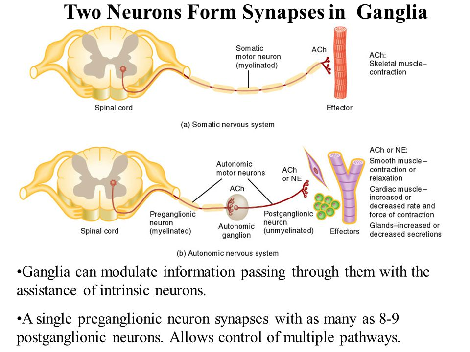 Two Neurons Form Synapses in Ganglia
