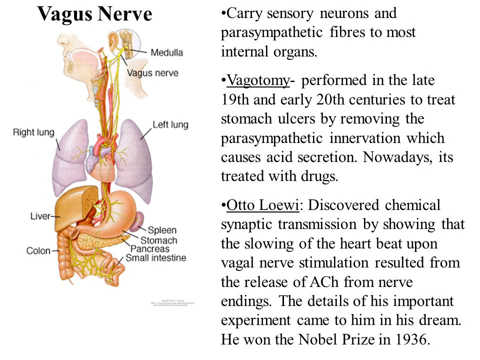 Vagus Nerve Carry sensory neurons and parasympathetic fibres to most internal organs.
