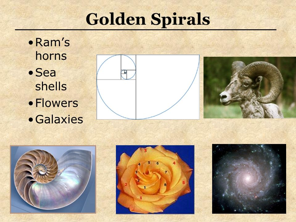 Ram's horns Sea shells Flowers Galaxies Golden Spirals