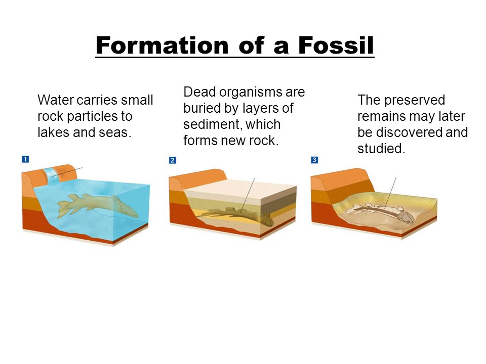 Formation of a FossilSection 17-1. Dead organisms are buried by layers of sediment, which forms new rock.
