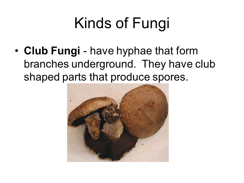 Kinds of Fungi Club Fungi - have hyphae that form branches underground.