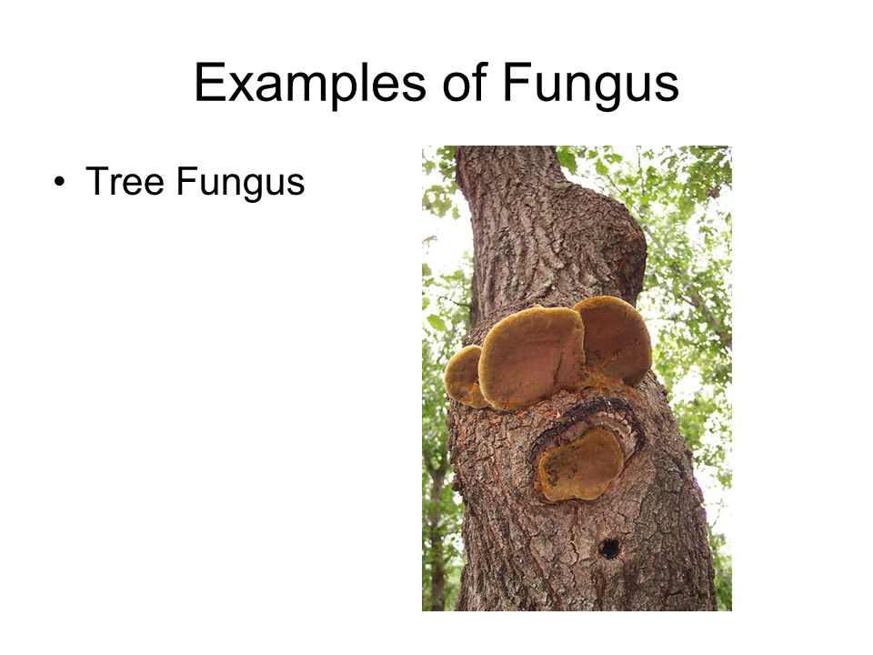 Examples of Fungus Tree Fungus