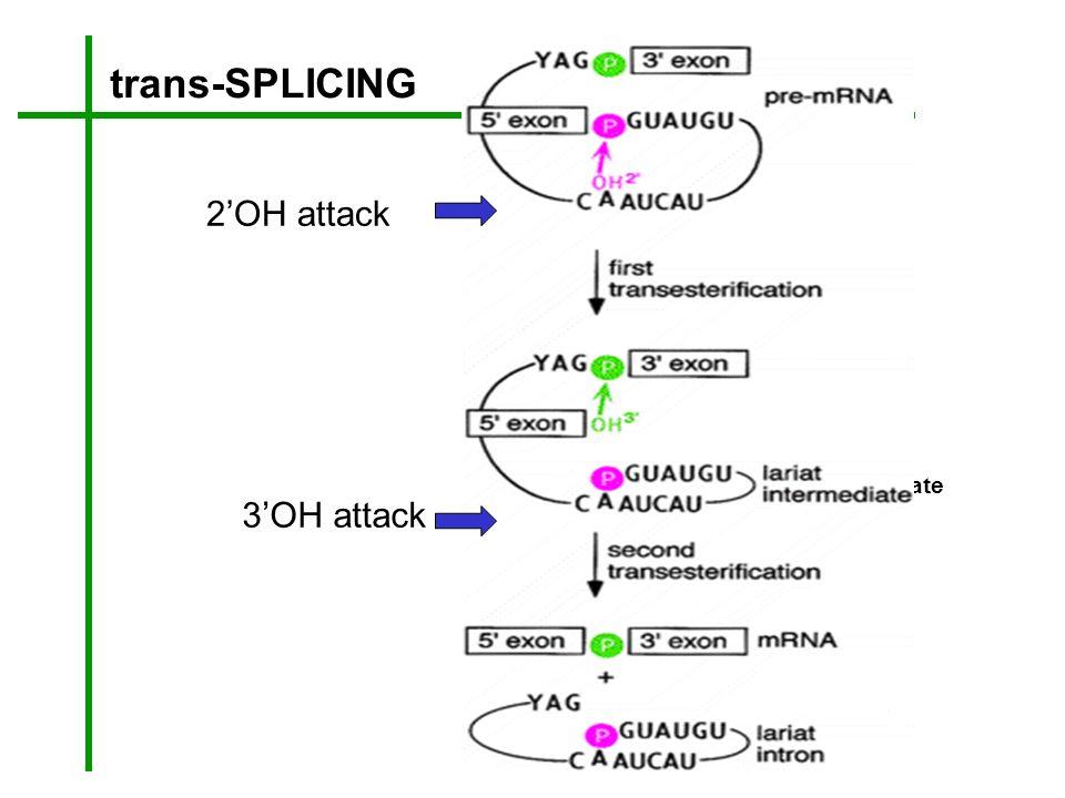 trans-SPLICING 2'OH attack Y intermediate 3'OH attack Y intron