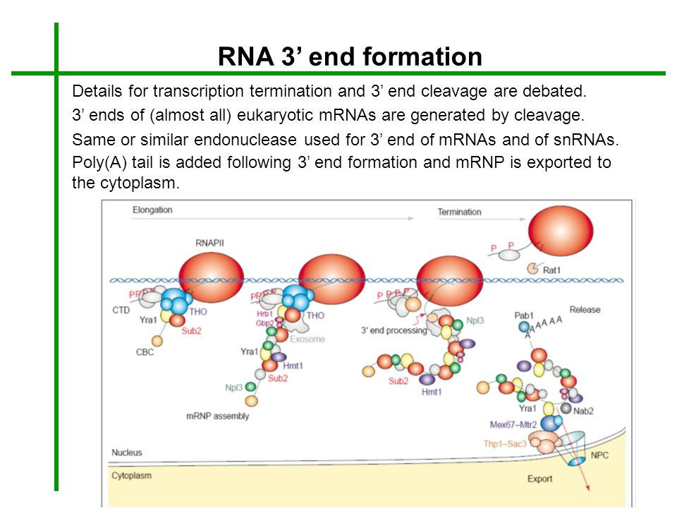 RNA 3' end formation Details for transcription termination and 3' end cleavage are debated.