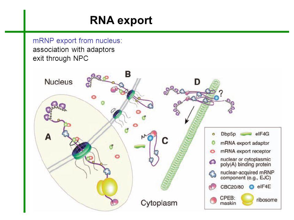 RNA export mRNP export from nucleus: association with adaptors
