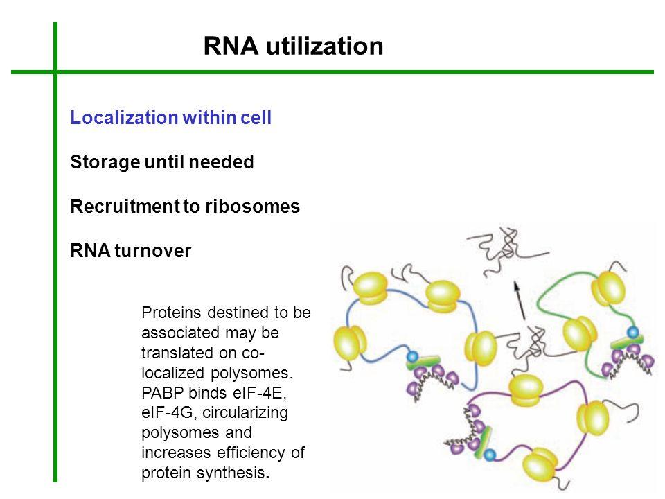 RNA utilization Localization within cell Storage until needed