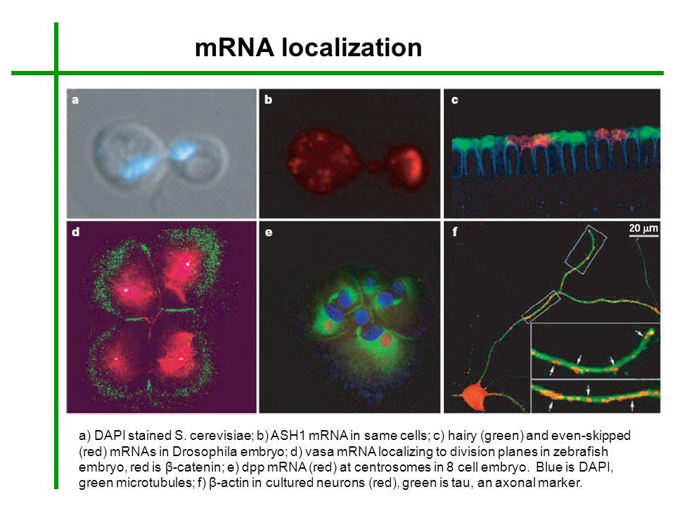 mRNA localization