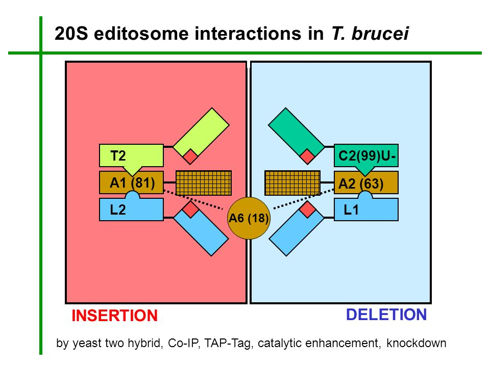 20S editosome interactions in T. brucei
