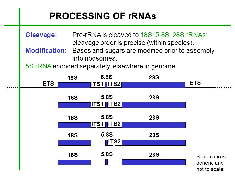 PROCESSING OF rRNAs Cleavage: Pre-rRNA is cleaved to 18S, 5.8S, 28S rRNAs; cleavage order is precise (within species).