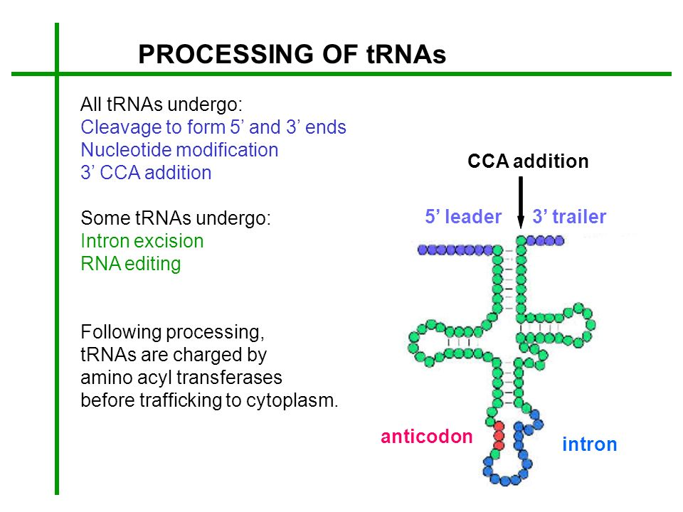 PROCESSING OF tRNAs All tRNAs undergo: Cleavage to form 5' and 3' ends