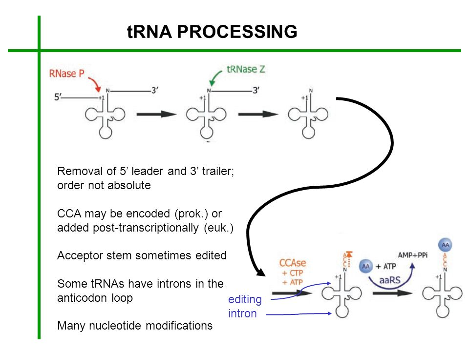 tRNA PROCESSING Removal of 5' leader and 3' trailer; order not absolute. CCA may be encoded (prok.) or.
