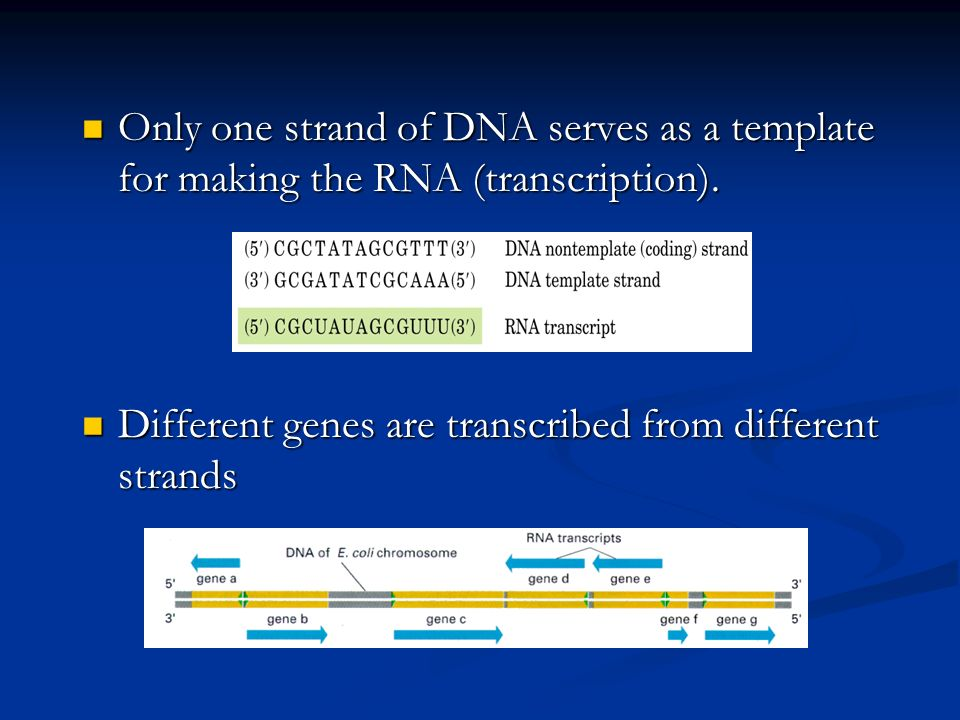 Only one strand of DNA serves as a template for making the RNA (transcription).