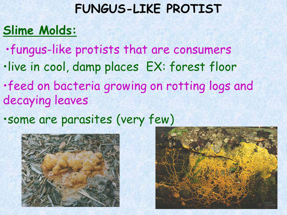 FUNGUS-LIKE PROTIST Slime Molds: fungus-like protists that are consumers. live in cool, damp places EX: forest floor.