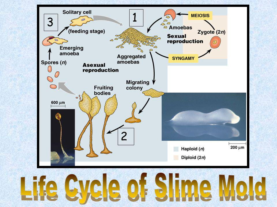 Life Cycle of Slime Mold