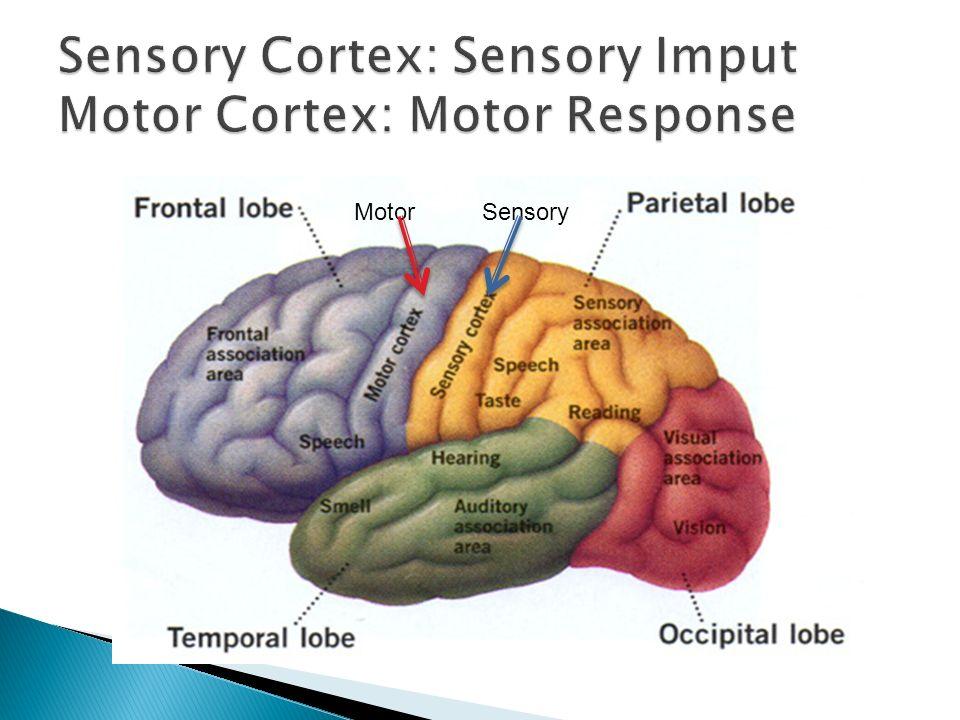 Sensory Cortex: Sensory Imput Motor Cortex: Motor Response