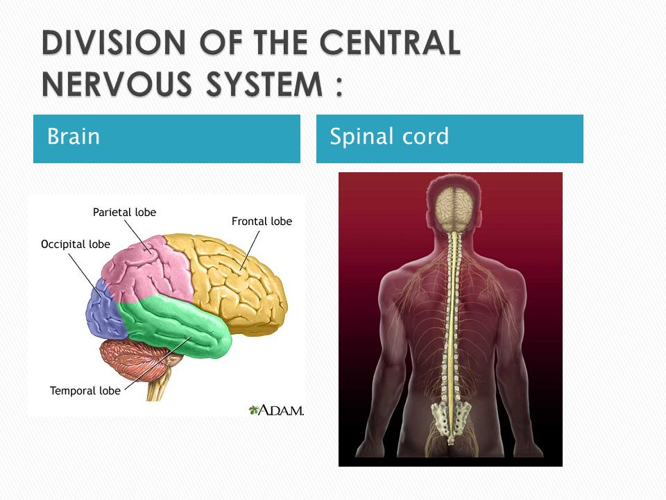DIVISION OF THE CENTRAL NERVOUS SYSTEM :