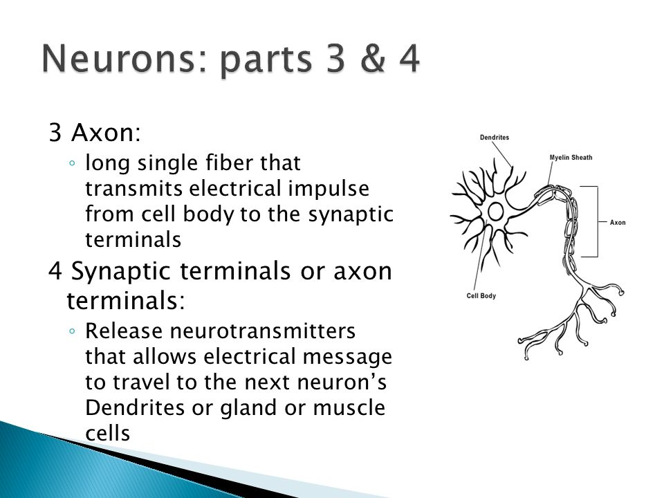 Neurons: parts 3 & 4 3 Axon: 4 Synaptic terminals or axon terminals: