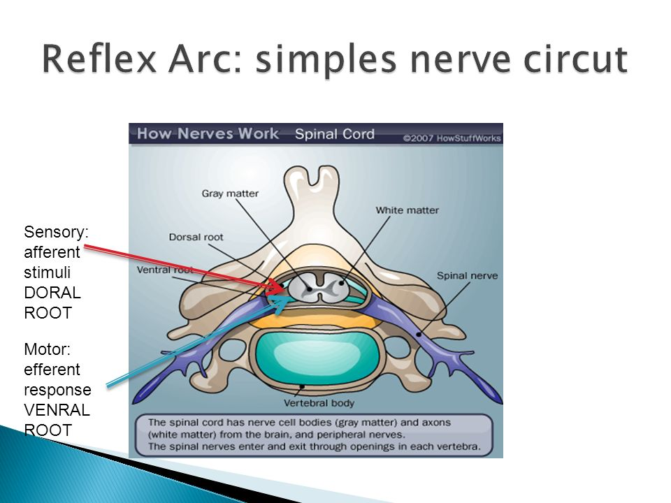 Reflex Arc: simples nerve circut