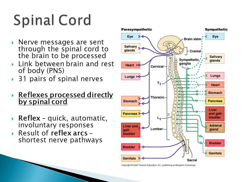 Spinal CordNerve messages are sent through the spinal cord to the brain to be processed. Link between brain and rest of body (PNS)