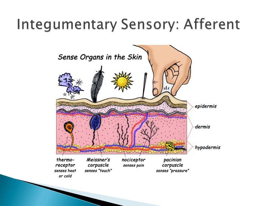 Integumentary Sensory: Afferent