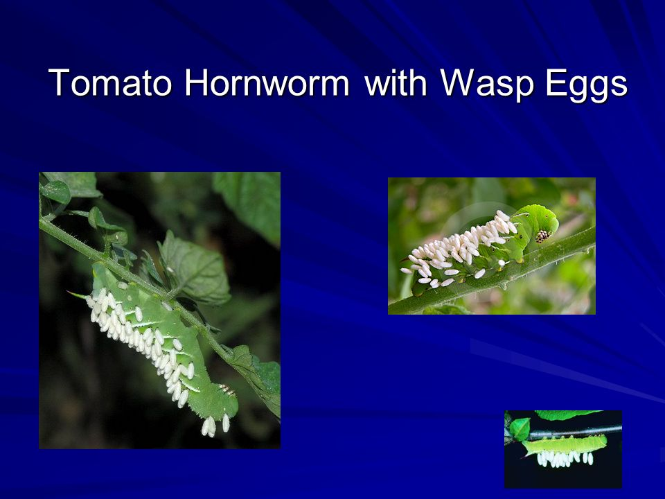 Tomato Hornworm with Wasp Eggs