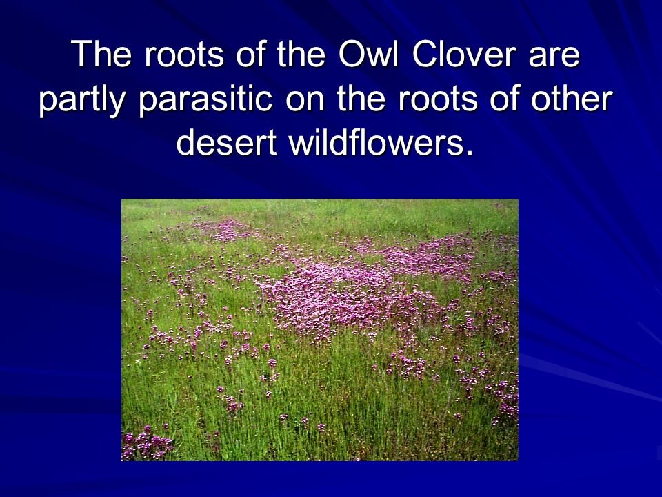 The roots of the Owl Clover are partly parasitic on the roots of other desert wildflowers.