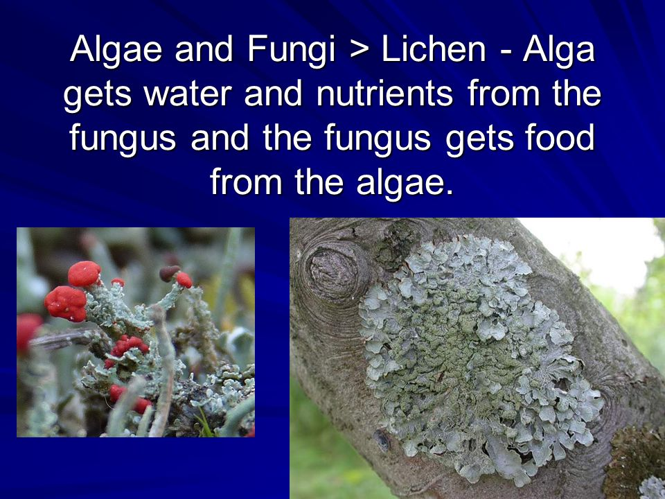 Algae and Fungi > Lichen - Alga gets water and nutrients from the fungus and the fungus gets food from the algae.
