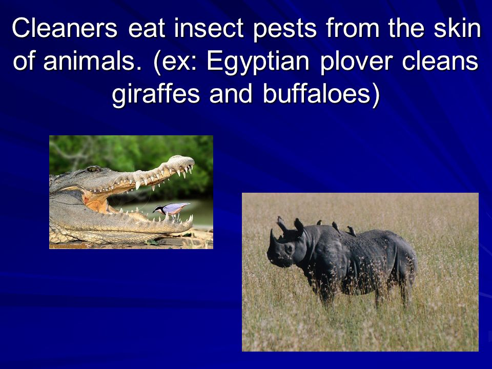 Cleaners eat insect pests from the skin of animals