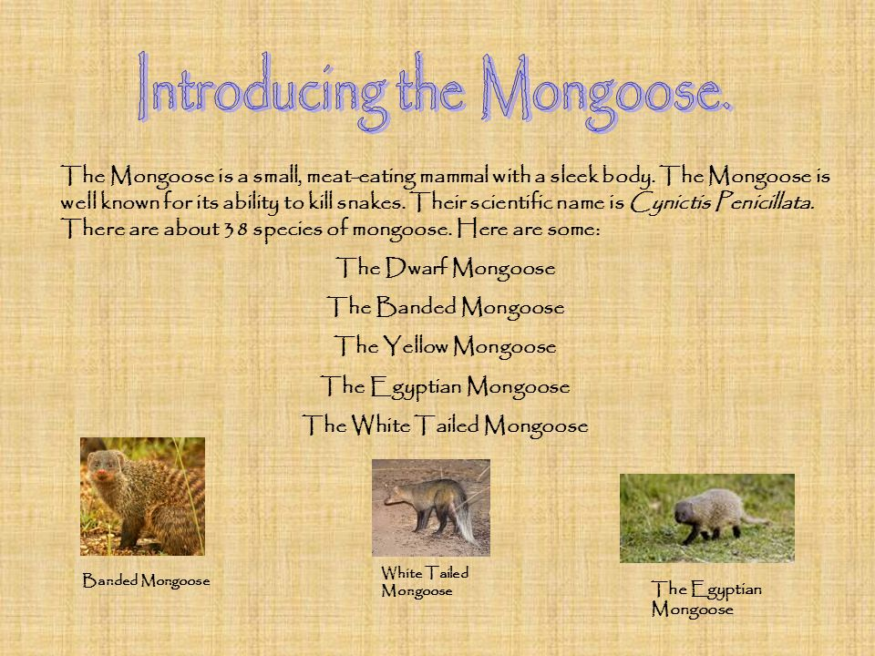 The White Tailed Mongoose