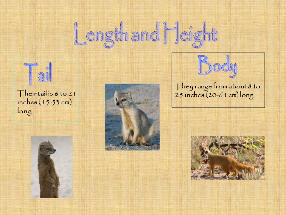 Length and Height Body Tail