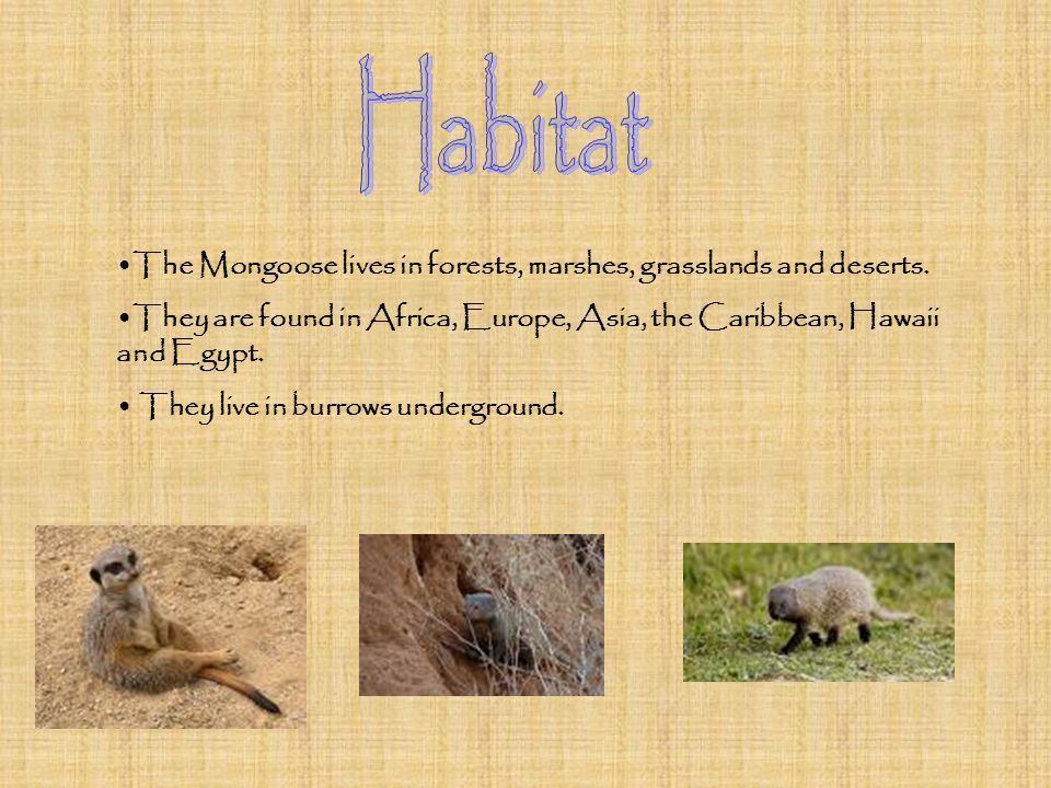 Habitat The Mongoose lives in forests, marshes, grasslands and deserts. They are found in Africa, Europe, Asia, the Caribbean, Hawaii and Egypt.
