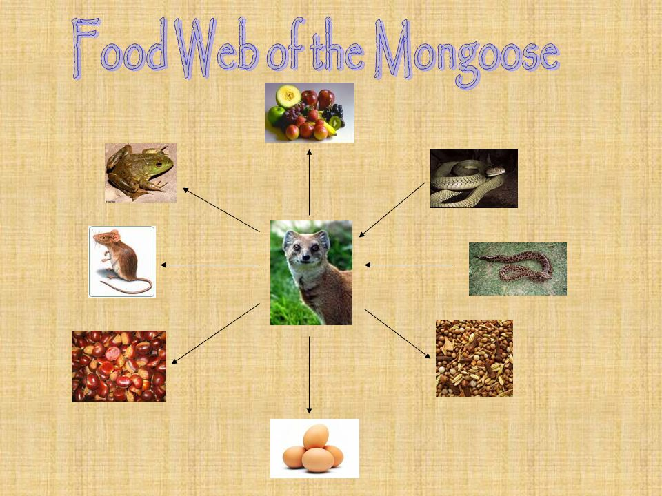 Food Web of the Mongoose