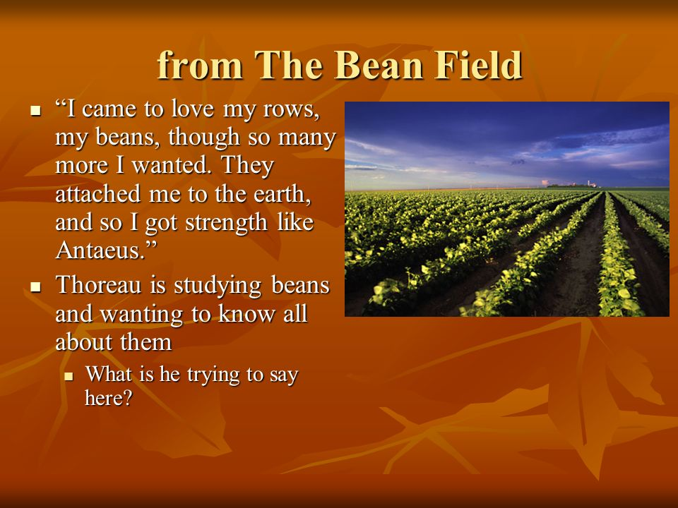from The Bean Field