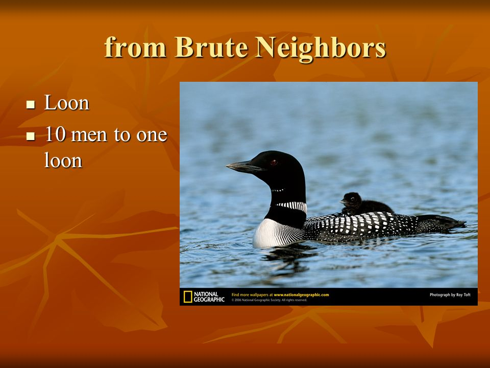 from Brute Neighbors Loon 10 men to one loon