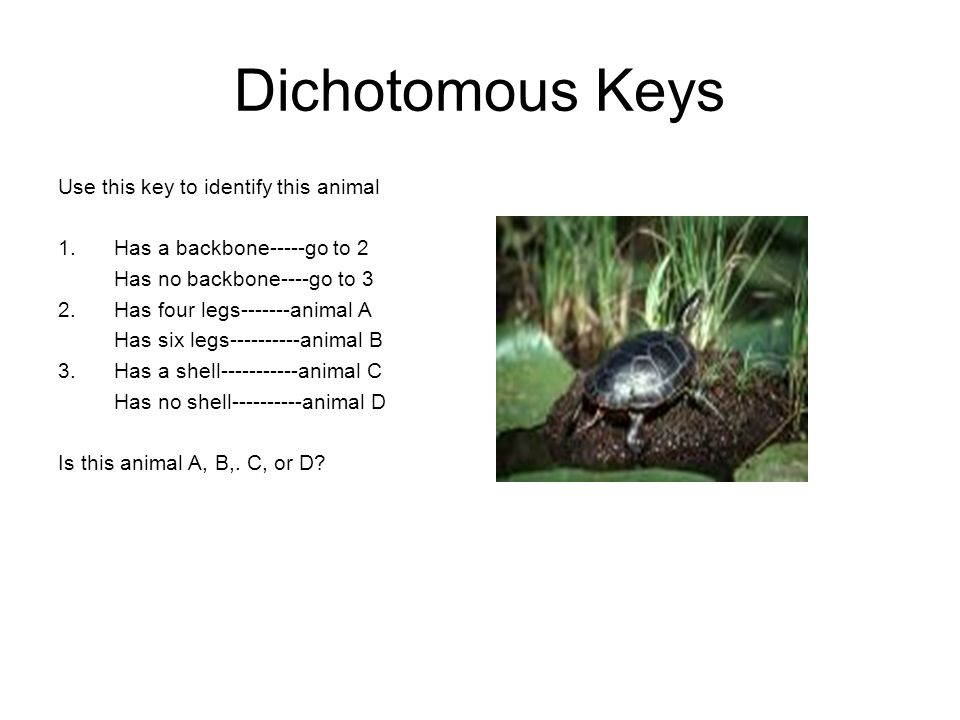 Dichotomous Keys Use this key to identify this animal