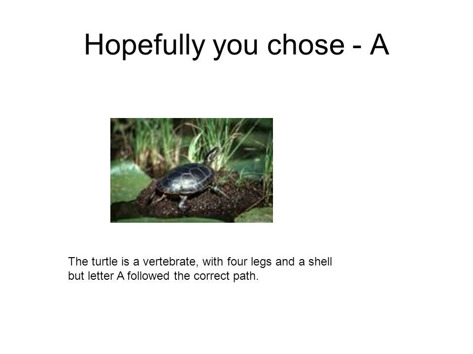 Hopefully you chose - AThe turtle is a vertebrate, with four legs and a shell but letter A followed the correct path.