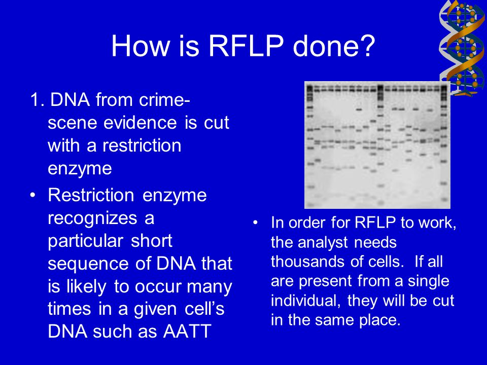 How is RFLP done 1. DNA from crime-scene evidence is cut with a restriction enzyme.