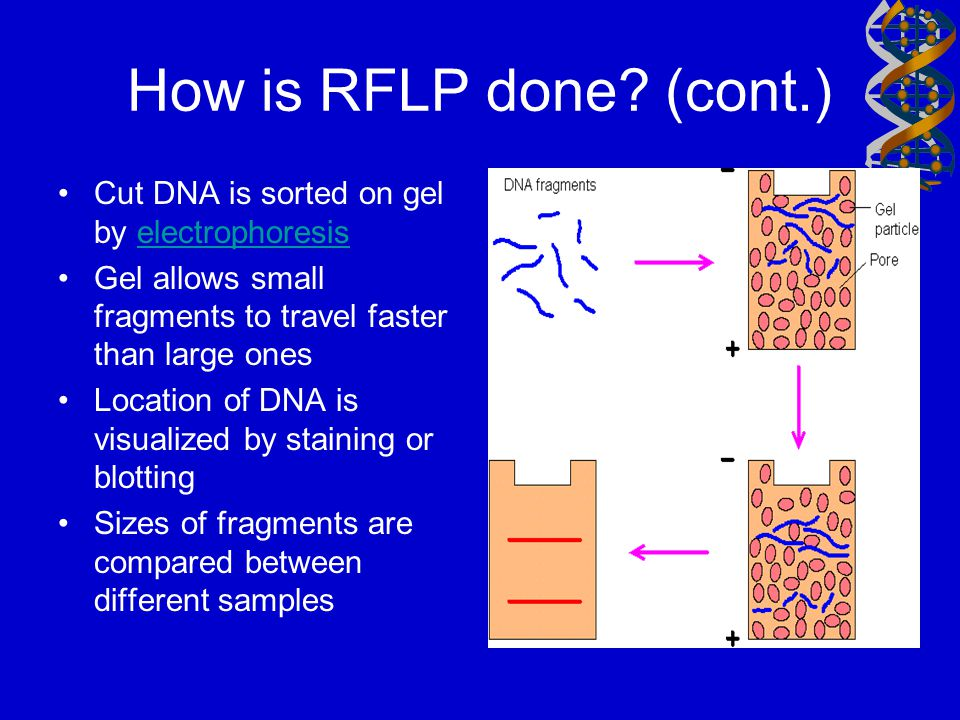 How is RFLP done (cont.) Cut DNA is sorted on gel by electrophoresis